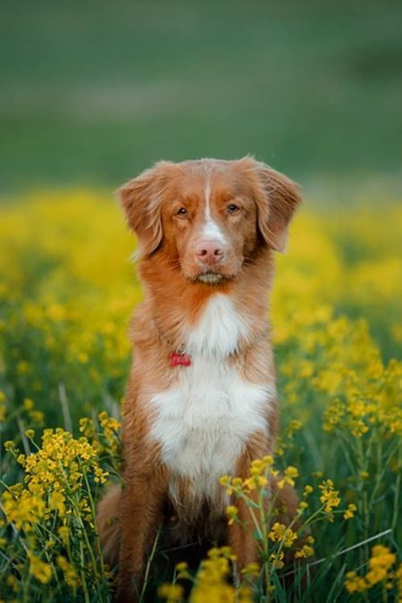 Nova Scotia Duck Tolling Retriever (photo c/o AKC)